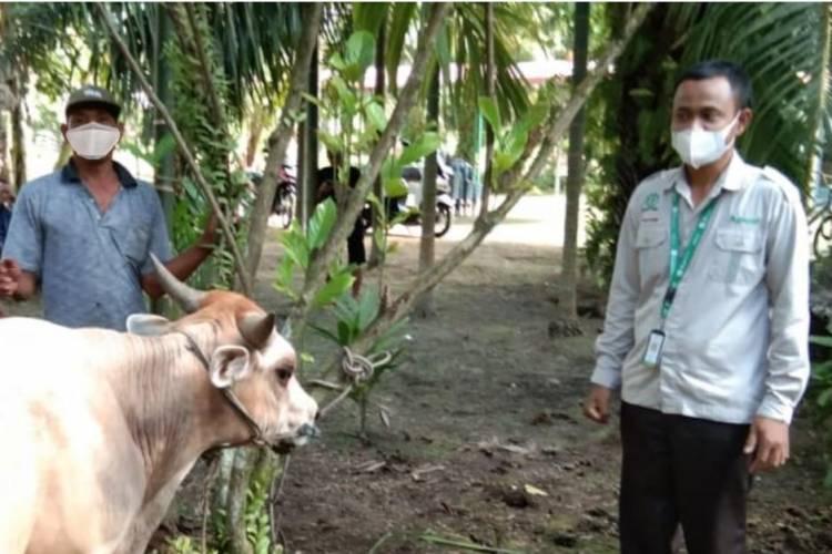 Sambut Idul Adha Sehat, Apical Menyalurkan Hewan Kurban dan Tips Pengolahan Minyak Kelapa Sawit Berkelanjutan